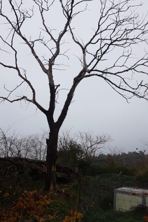 Trädfällning Kromeröd Tjörn Stora döda almar 2