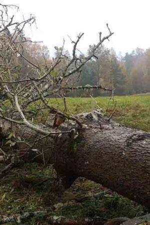 Trädfällning av ask